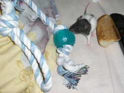 Eden, rongeur Rat