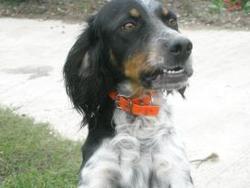 Eden, chien Setter anglais
