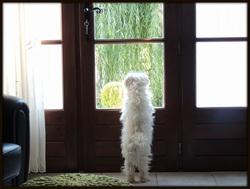 Eden, chien Bichon maltais