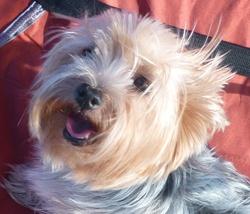 Eden , chien Yorkshire Terrier