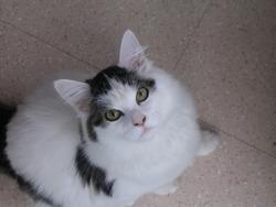 Eden, chat Angora turc