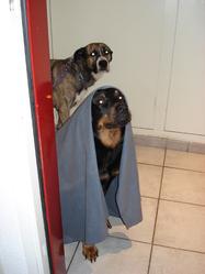 Eden, chien Rottweiler