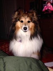 Eden , chien Berger des Shetland