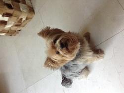 Éden , chien Yorkshire Terrier