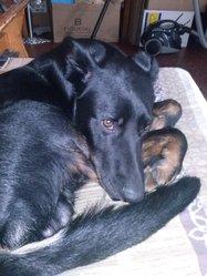 Eden , chien Beauceron