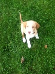 Eden, chien Labrador Retriever