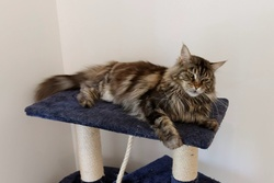 Eden, chat Maine Coon