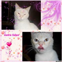 Eden, chat Ragdoll