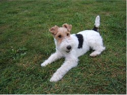 Eden, chien Fox-Terrier