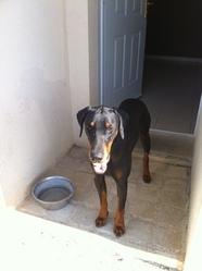 Eden, chien Dobermann