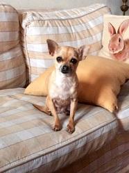 Éden, chien Chihuahua