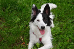 Eden, chien Border Collie