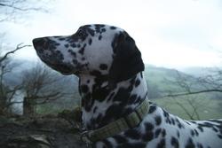 Eden, chien Dalmatien