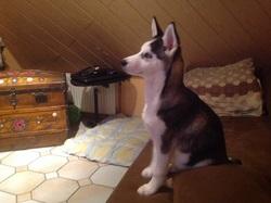 Éden , chien Husky sibérien