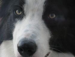 Eden, chien Border Collie