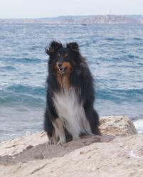 Eden, chien Berger des Shetland