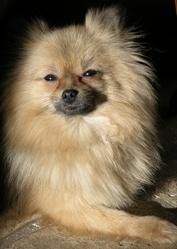 Eden De Forlhand, chien Spitz allemand