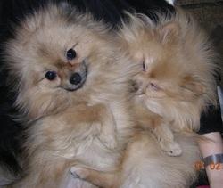 Eden Et Fresbee, chien Spitz allemand