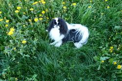 Eden Paradis, chien Épagneul japonais