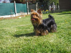Eden-Rose, chien Yorkshire Terrier