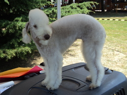 Edène, chien Bedlington Terrier