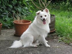 Edenn, chien Spitz japonais