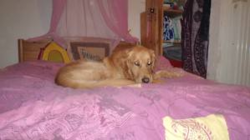Edgar, chien Golden Retriever