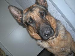 Edgar, chien Berger allemand