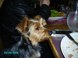 Edgar, chien Yorkshire Terrier