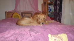 Edgar, chien Golden Retriever