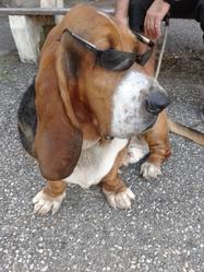 Edgard, chien Basset Hound