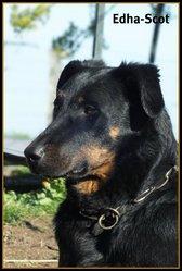 Edha-Scot, chien Beauceron