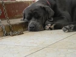 Edhen, chien Cane Corso