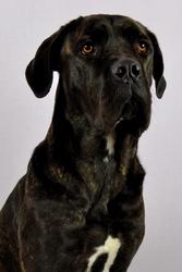 Edina, chien Cane Corso