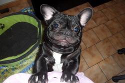 Edmond, chien Bouledogue français