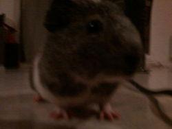 Edward, rongeur Cochon d'Inde