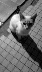 Édouard, chat Siamois
