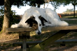 Edsel, chien Border Collie