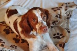 Eduen, chien Épagneul breton