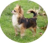 Edwin Des Pyramides De Cholula, chien Chihuahua