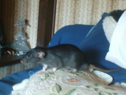 Shelby, rongeur Rat