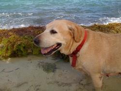 Vahina, chien Labrador Retriever