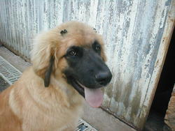 Choupa, chien Leonberger