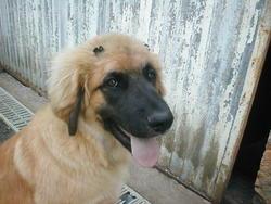 Choupa, chien Leonberger