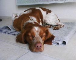 Eclipse, chien Épagneul breton