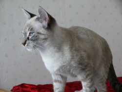 Isabelle, chat Siamois