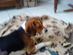 Flora, chien Beagle