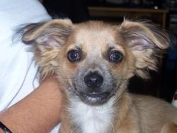 Diabolo, chien Chihuahua