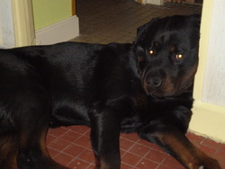 Balko, chien Rottweiler