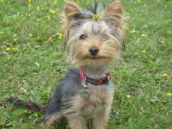 Fidgi, chien Yorkshire Terrier